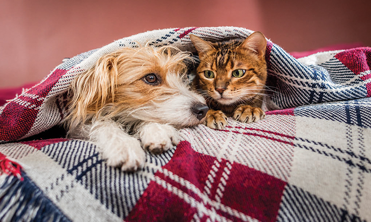 Cute dog and cat under a blanket